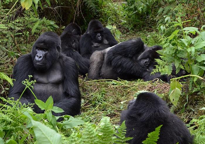 Mountain Gorillas In Volcanoes National Park Sam Ngendahimana